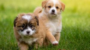 Cuteness alert! Merrion Square will be overrun with cuddly puppies this March
