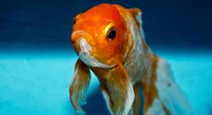 8 cool goldfish facts